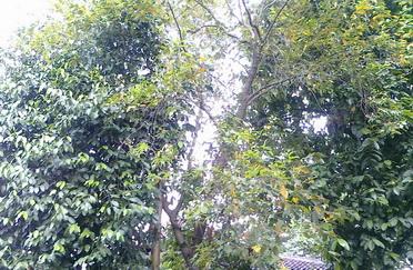 Daun berguguran dari Pohon nan Hijau