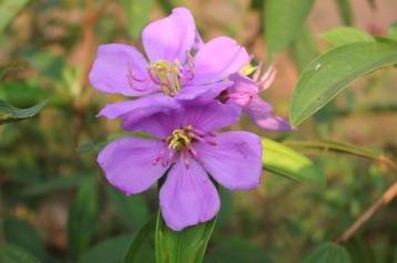 Purple Keduduk