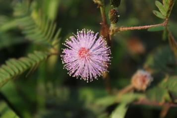 Purple Putrimalu