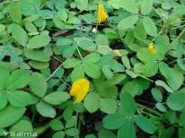 Bunga Kuning Rumput