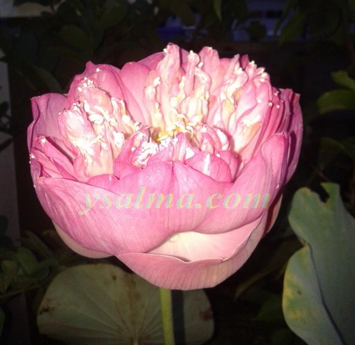 "<p><img title=""Bunga Lotus Cantik"" src=""https://ysalma.files.wordpress.com/2014/03/bunga-lotus-pink.jpg"";alt=""Bunga Lotus Mekar""/></p>"