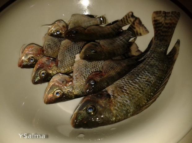 Baby Ikan Mujair