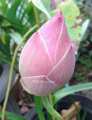Kuncup Bunga Lotus Pink
