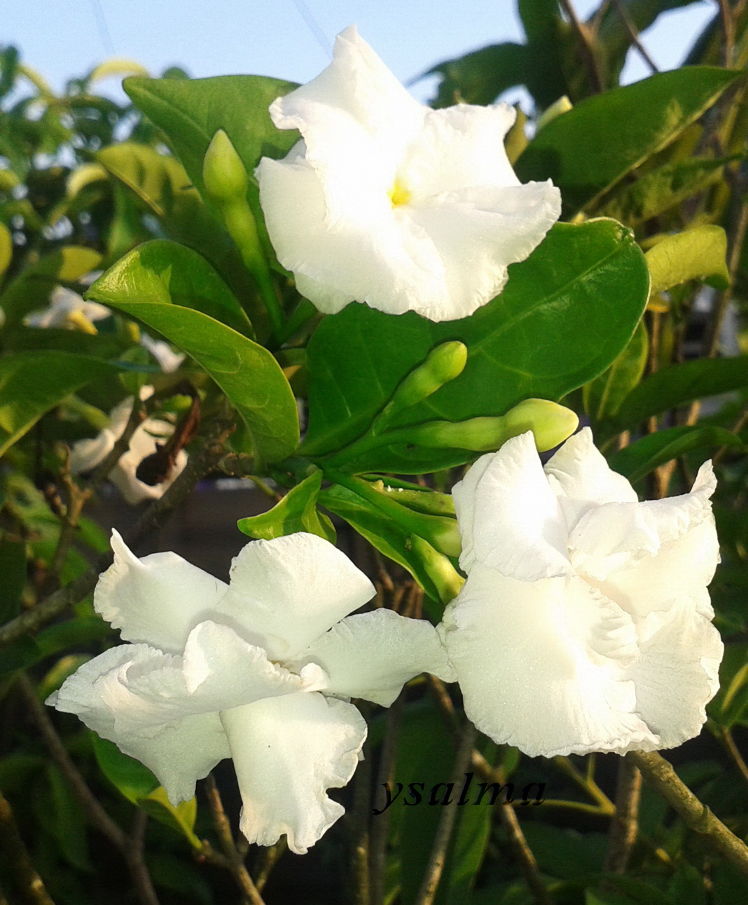 Rahmi pratiwi biologi 14 httpsysalmaleswordpress201404bunga putih kaca piringg ccuart Image collections