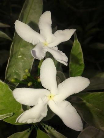 Bunga Melati Cina
