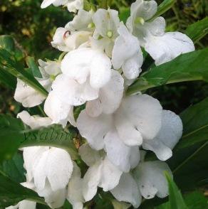 Bunga Pacar Air Putih