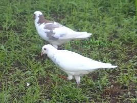 burung dara merpati