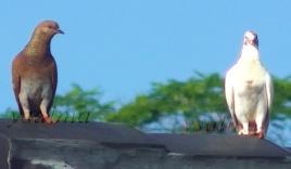 burung dara