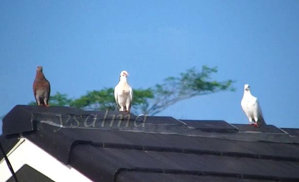 burung dara1