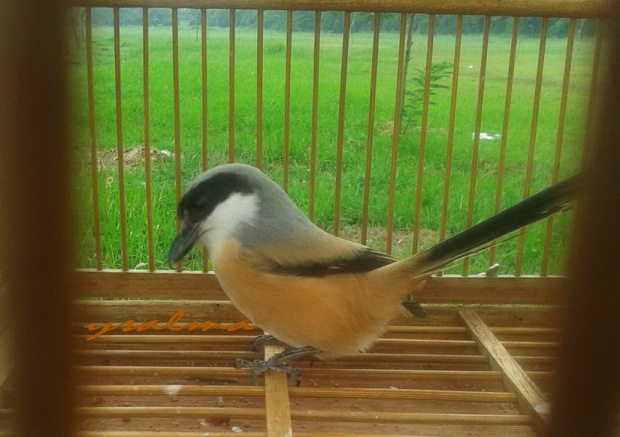 Burung Pentet dalam Sangkar