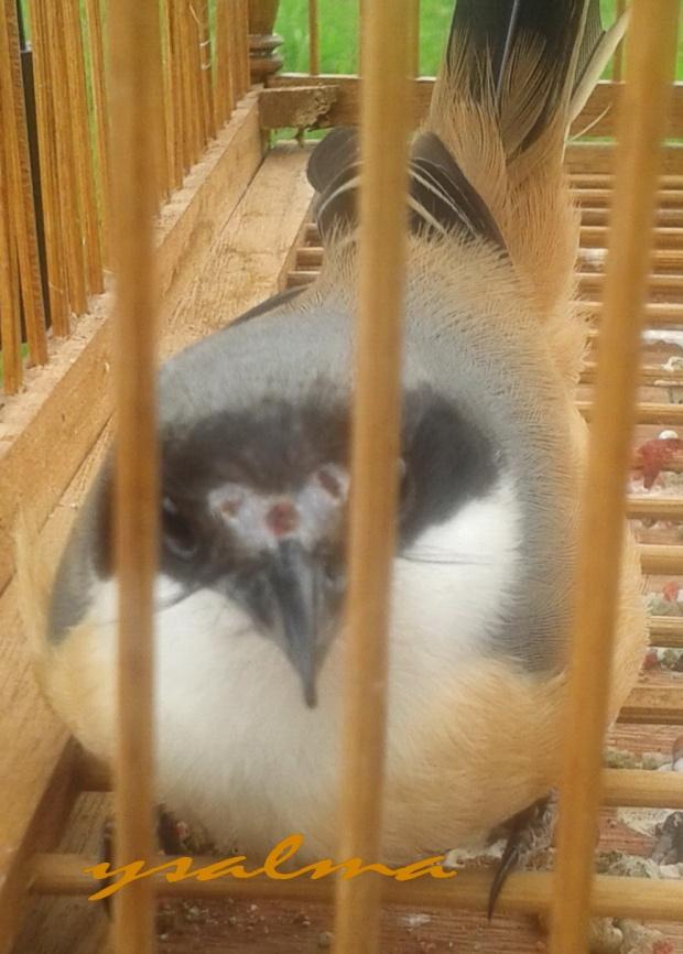 Burung Pentet Ngintip