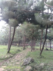 Taman Pinus di pelataran Curug Cipamingkis