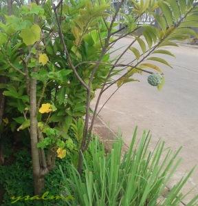 Bahu Jalan daripada hanya rumput. Ditanam Jambu, Jarak, Srikaya dll :)