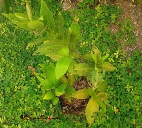 Pohon jambu yang agak sedikit merana juga.