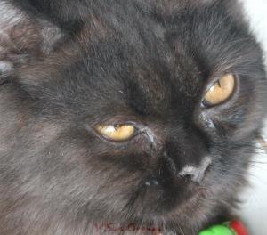 Mata Kucing pernah kedutan ga ya?