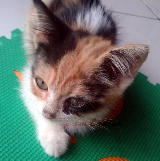 Kucing Belang Tiga Membawa Hoki Ysalma