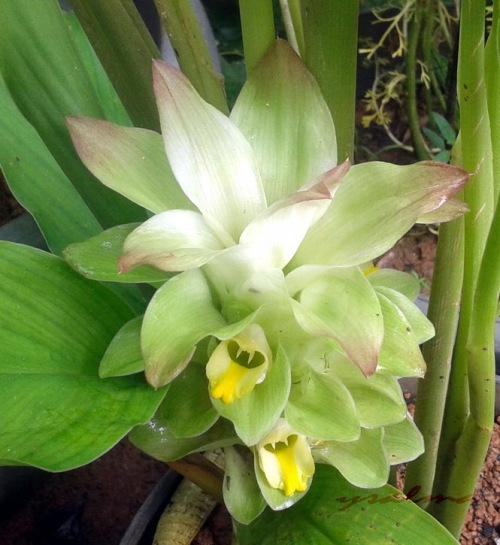 Bunga Tanaman Kunyit
