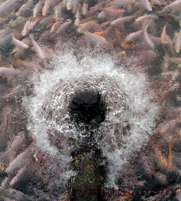 memanfaatkan-mata-air-untuk-budidaya-ikan