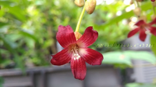 Bunga Belimbing Merah Menggoda