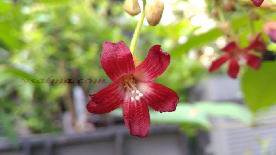 Bunga Belimbing Wuluh