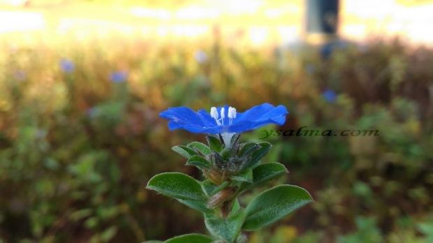 Bunga Biru Anggun