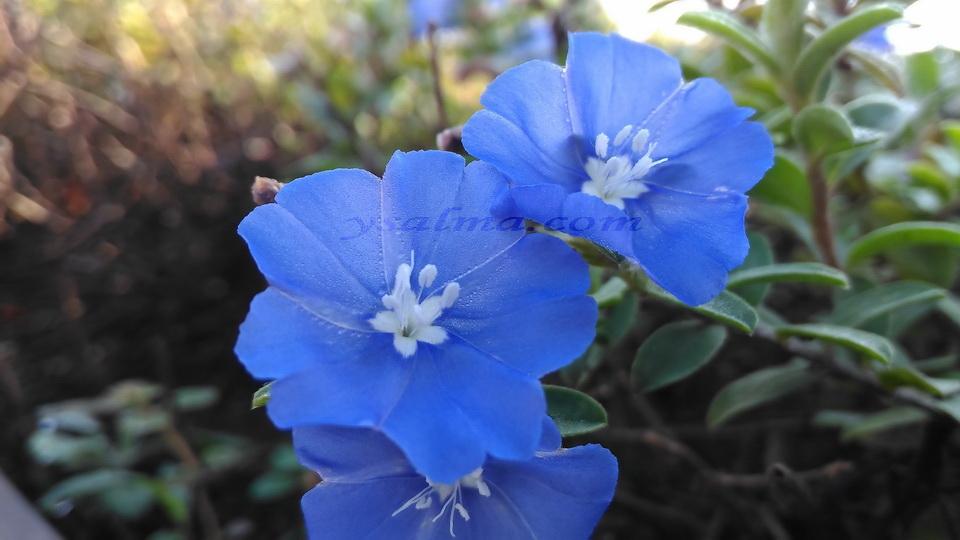 Bunga Biru Cantik
