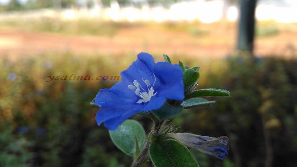 Bunga Biru Menggoda