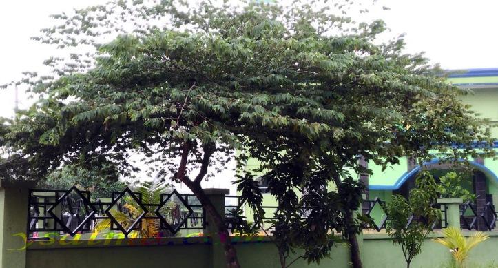 Kersen Pohon