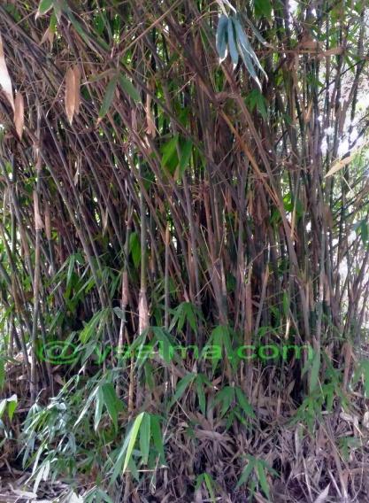 Rumpun Bambu Irateun_YSalma