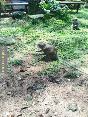 Monyet di Curug Nangka_YSalma