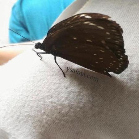 Kupu-kupu hinggap di bahu manusia karena mencium bau keringat. Sebab kupu perlu natrium atau garam yang ada dalam keringat