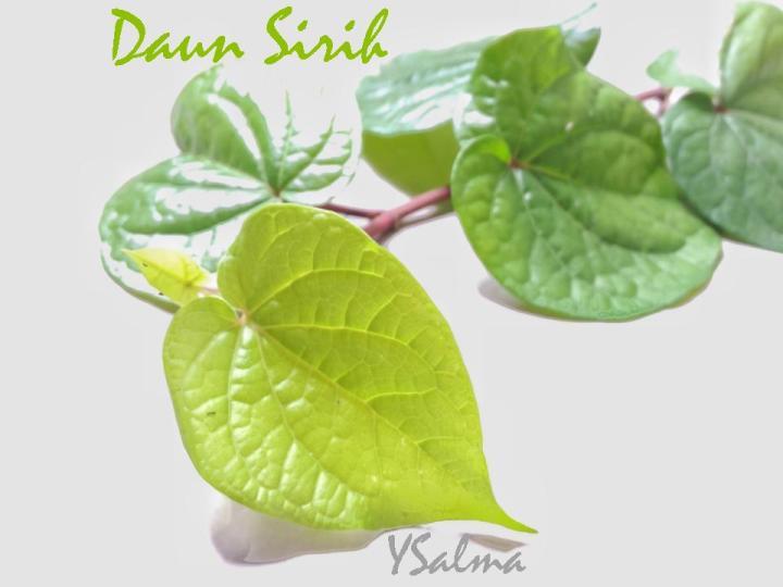Kegunaan daun sirih hijau