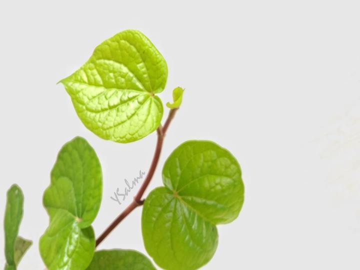 Manfaat daun sirih dan khasiatnya